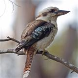 Kookaburra Sits In The Old Gum Tree Digitale Noter