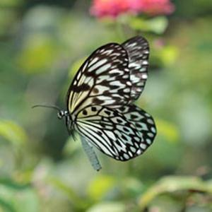 Traditional Filipino Folksong Paruparong Bukid (The Butterfly Field) cover art