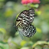 Paruparong Bukid (The Butterfly Field)
